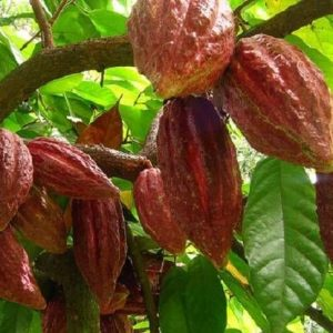 Какао масло рафинированное, 100 гр.